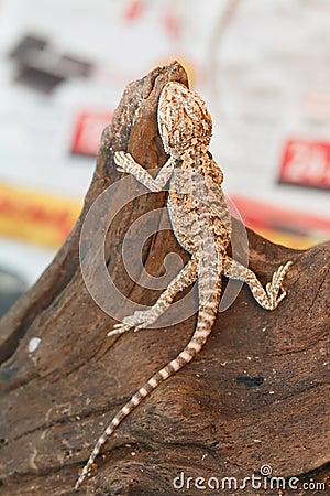Free Bearded Dragon Animal. Stock Photos - 87879443