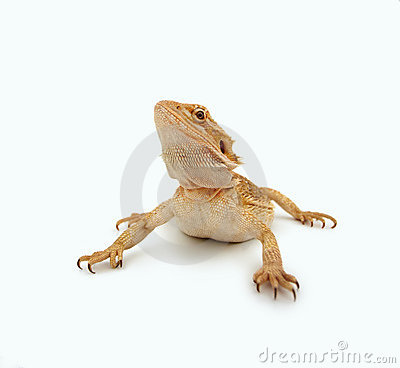 Bearded dragon crawling over white background