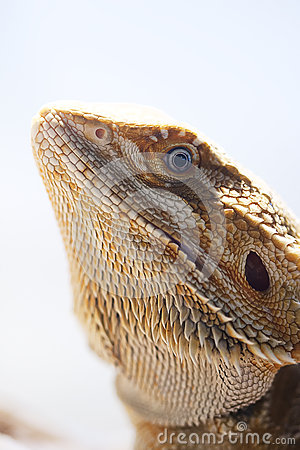 Bearded dragon face