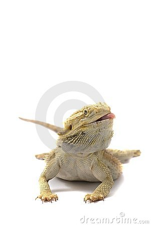 Free Bearded Dragon Isolated On White Royalty Free Stock Photos - 7683998