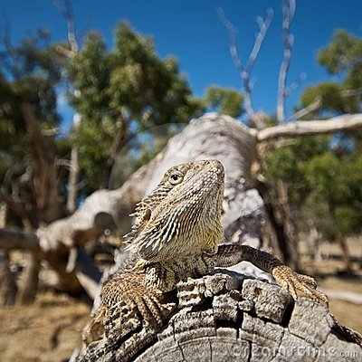 Free Bearded Dragon On Log Stock Images - 7867244
