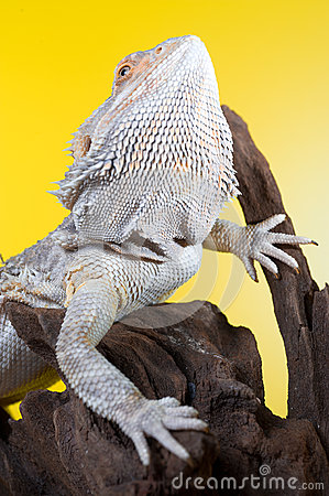 Free Bearded Dragon Reptile Lizard On A Branch On Yellow Background Stock Photo - 30903890