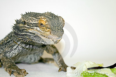 Bearded Dragon Staring at Food