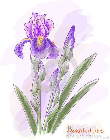 Bearded iris. Watercolor imitation.