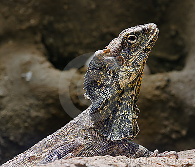 Bearded lizard