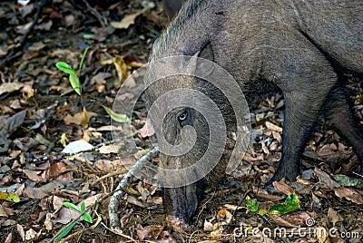 Bearded pig, Bako National Park, Borneo, Malaysia