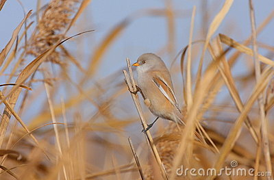Bearded tit on the reed