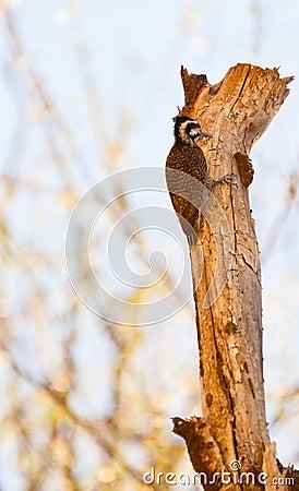 A Bearded Woodpecker on a log