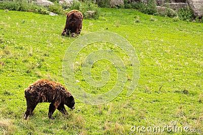 BEARS ON A HILL