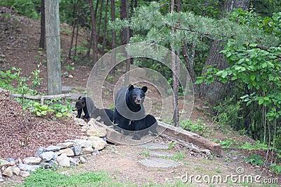 Bears on the path
