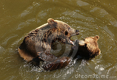 Bears playing in water