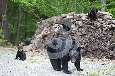 Bears on the wood pile