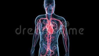Beating heart. Medical 3d animation of the beating heart