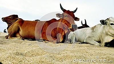 Beau clip vidéo de vache indienne 4k banque de vidéos