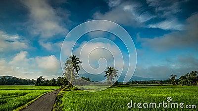 Beau timelaphe zoom du champ de rizière à Kedah Malaysia banque de vidéos