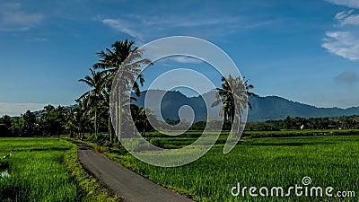 Beau timelapse de zoom de rizières près du village de Kedah Malaysia banque de vidéos