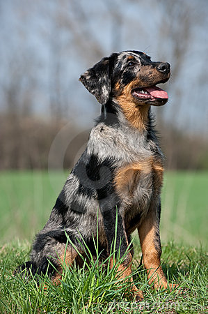 Beauceron Puppy Royalty Free Stock Images Image 19472039