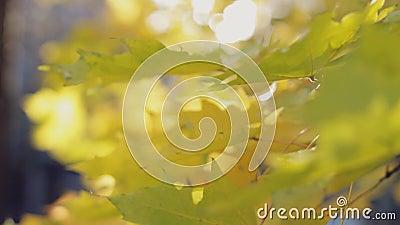 Beauté d'automne, feuilles colorées en gros plan banque de vidéos