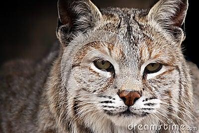 Beauté de chat sauvage