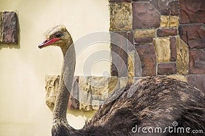 Beautifu ostrich close-up