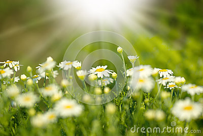 Beautifu spring daisy