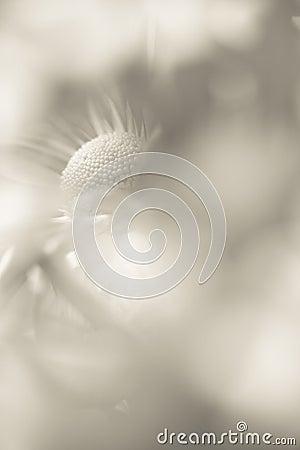 Beautiful abstract bkur chrysanthemum flower