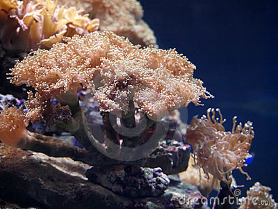 Beautiful actinia
