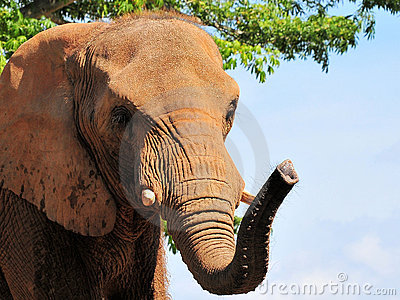 A Beautiful African Elephant