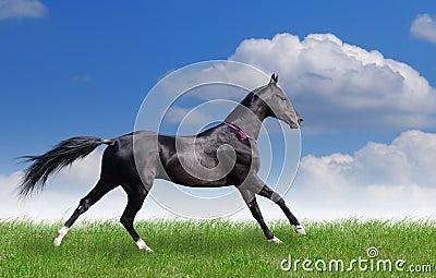 Beautiful akhal-teke horse