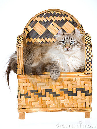 Beautiful American Curl cat on woven bamboo chair