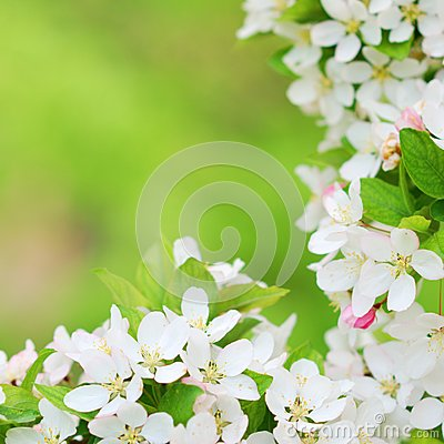Free Beautiful Apple Tree Blossoms In Early Spring Royalty Free Stock Images - 40207529