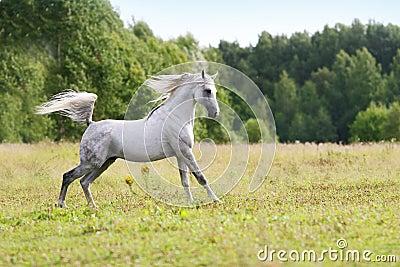 Beautiful arab stallion