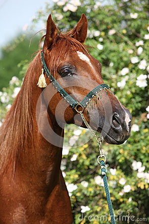 Beautiful arabian horse in front of some blossoms
