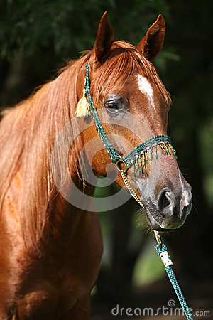 Beautiful arabian horse with nice show halter