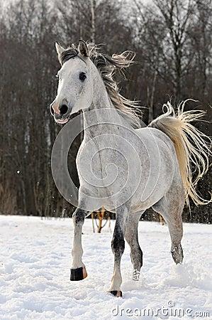 Beautiful arabian horse running on the