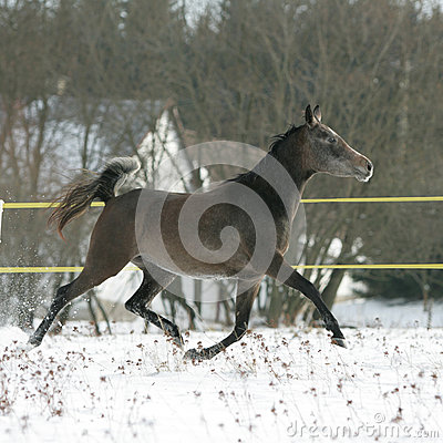 Beautiful arabian horse running in winter