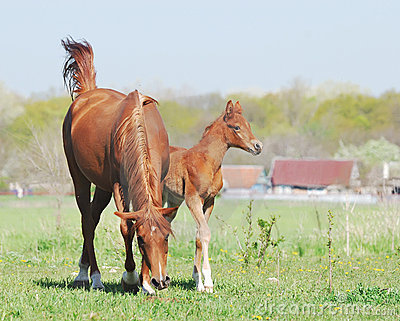 Beautiful arabian mare and foal