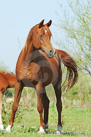 Beautiful arabian mare on pasture