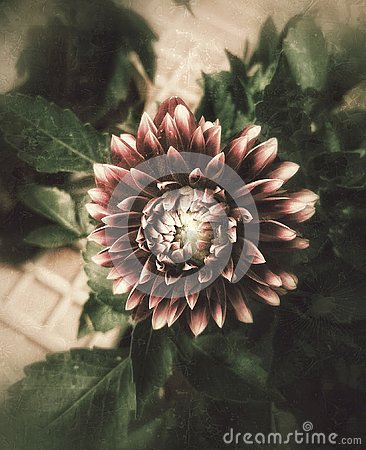 A beautiful artistic image of dahlia flower Stock Photo