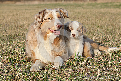Beautiful Australian Shepherd Dog With Its Puppy Stock Photo - Image ...