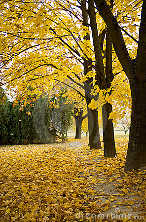 Beautiful autumn with yellow leaves