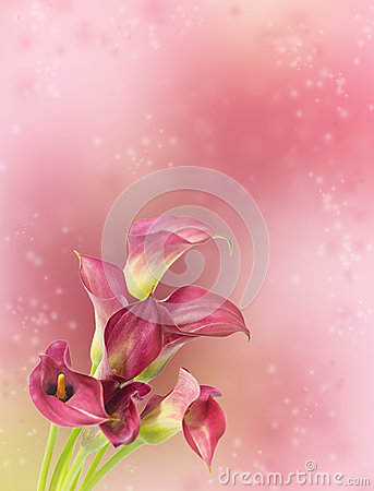Free Beautiful Background Blur With Red Calla Flowers Stock Photography - 53676922