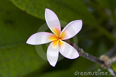 Beautiful Balinese Flower