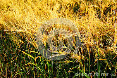 Beautiful barley cereal field