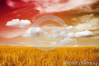 A beautiful barley field in sunset