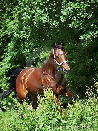 Beautiful bay sportive  mare in move