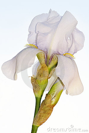 Beautiful bearded iris flower