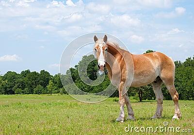 Beautiful Belgian Draft Horse looking