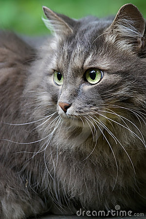 Beautiful big grey cat with green eyes