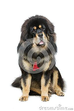 Free Beautiful Big Tibetan Mastiff Dog Royalty Free Stock Image - 73175826